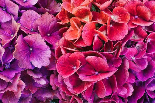 Hydrangeas, Colorful, Bright, Background, Flowers