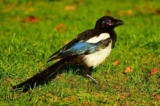 Magpie, Eurasian Magpie, Bird, Animal, Corvid, Corvidae