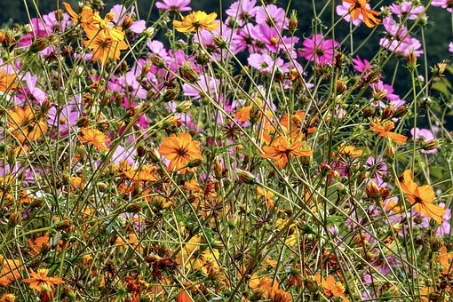 Flowers, Cosmea, Cosmos, Garden, Blossom, Bloom, Pink