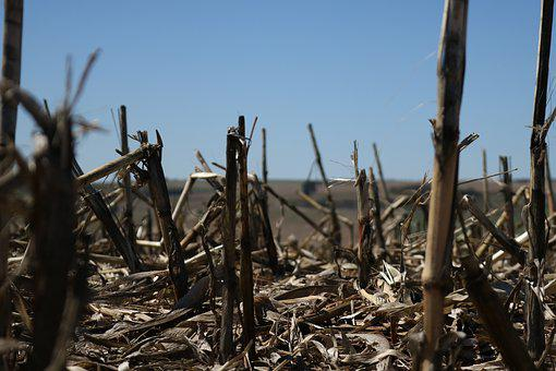 Corn Harvested, Crop, The Brazilian Agribusiness