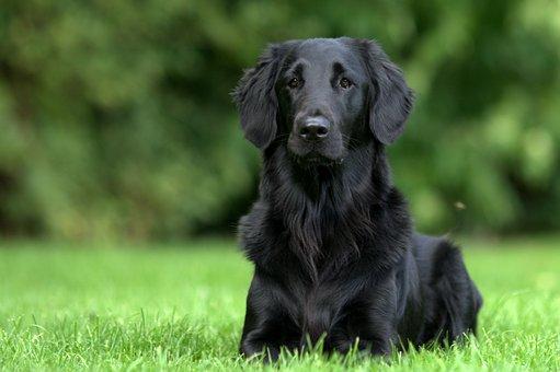 Dog, Flatcoated, Retriever, Black, Green, Nature