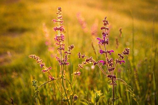 Sage, Meadow, Wildflower, Flower, Purple, Nature, Green