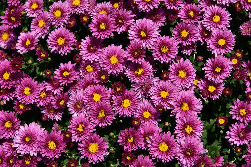 Asters, Flowers, Close Up, Purple, Summer, Background