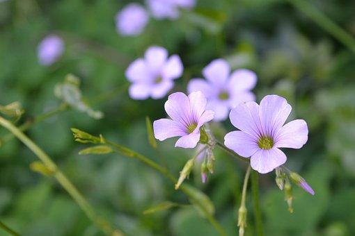 Flower Of Clover, Clover, Field, Mato, Flowers, Lilac