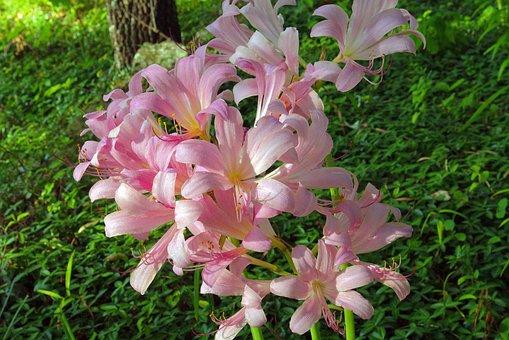 Arkansas Surprise Lily, Magic, Lily, Lilies, Flowers