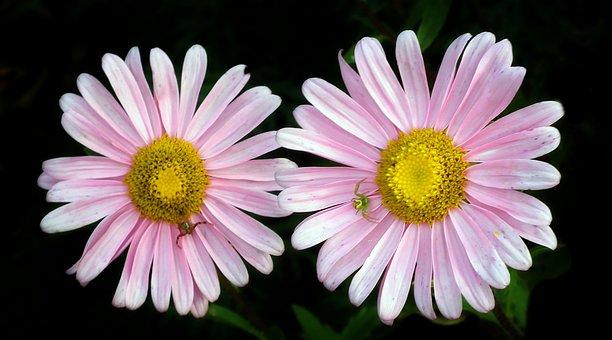 Flowers, Astra, Pink, Garden, Nature, Summer