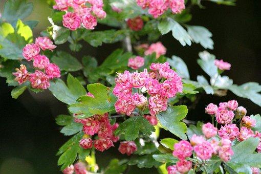 Hawthorn, Flowers, Pink Flowers, Tree, Summer, Leaves