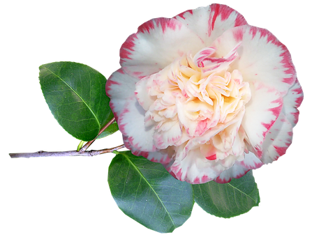 Camellia, Flower, Stem, Spring, Bloom, Garden, Nature