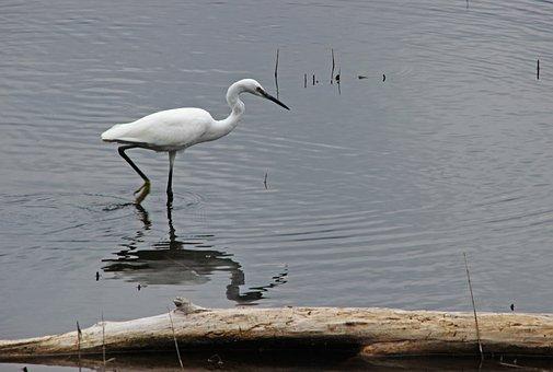 Heron, Little Egret, Nature, Bird, Animal World, Water