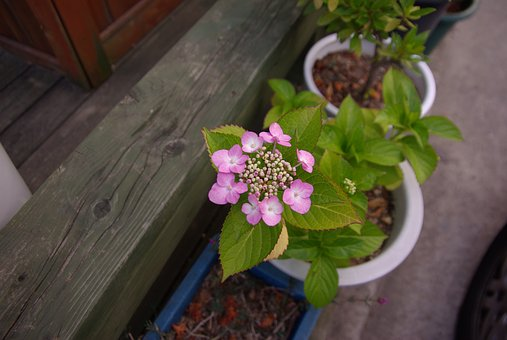 Hydrangea, Church, Potted Plant