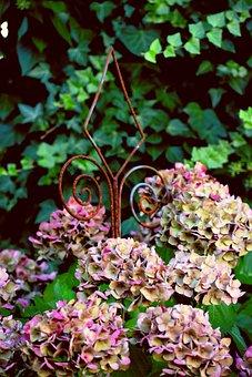 Hydrangeas, Withered, Wilting Flowers, Flowers, Garden