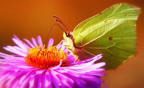 Latolistek Sulphur Butterfly, Butterfly Day, Insect