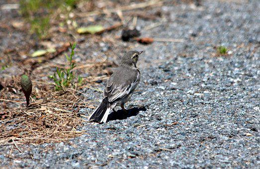 Kamchatka Wagtail, Motacilla Alba Lugens, Wagtail, Bird