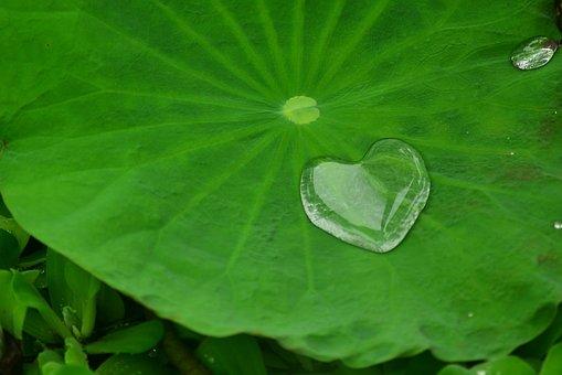 Lotus Leaf, Plant, Aquatic Plants