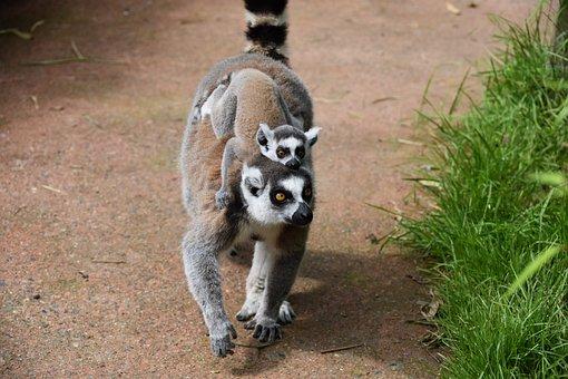 Lemur, Mom With Her Little, Animal