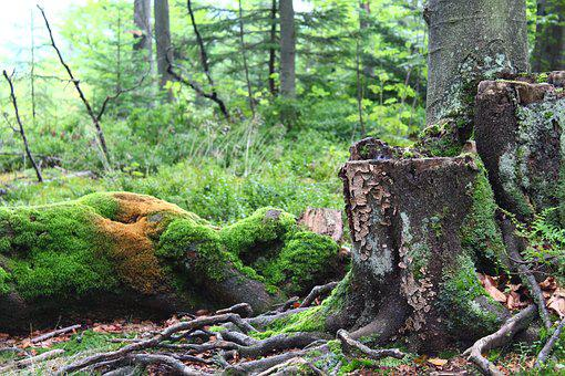 Forest, Moss, Tree