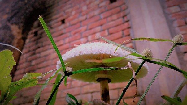 Mushroom, Fungus, Frog's Umbrella