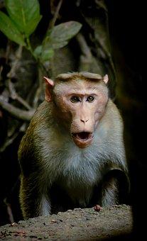 Monkey, Animal, Nature, Wildlife, Wild, Face, Looking