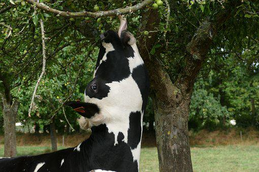Cow, Mammal, Cattle, Farm, Countryside, Nature, Black
