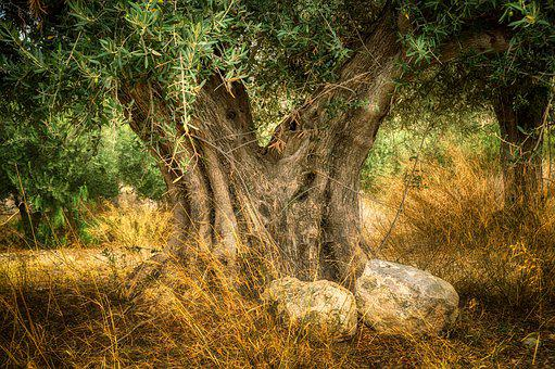 Olive, Old Olive Tree, Trunk, Age