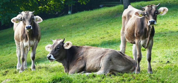 Nature, Agriculture, Cows, Cattle, Pasture, Grass