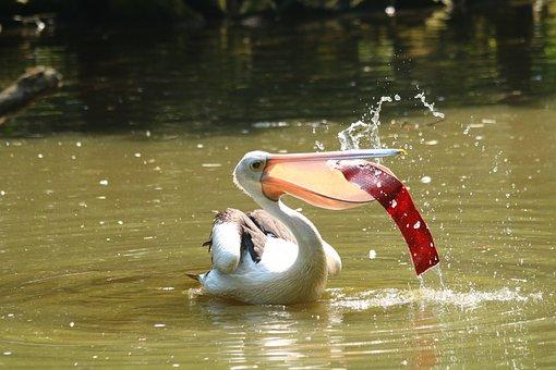Pelican, Bird, Feather, Beak, Wing, Water, Zoo