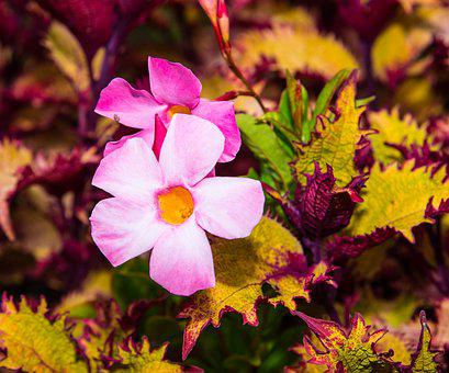 Pink Flower, Plant, Colorfull