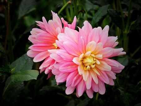 Summer's End, Dahlia, Flower, Plant, Pink Flower