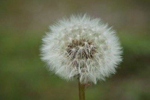Plant, Dandelion, Fluffy, Tender