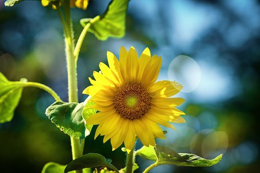 Sunflower, Sun, Summer, Nature, Bokeh, Bloom, Plant