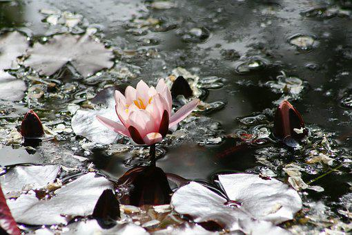 Pink, Water Lily, Lily Pad, Pond, Shiny, Nuphar Lutea