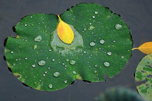 Lotus Leaf, Pool, Lake