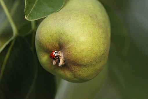 Pear, Lady Bug, Bugs, Fruit, Produce
