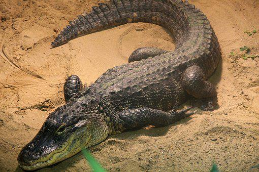 Crocodile, Reptile, Alligator, Animal World, Predator