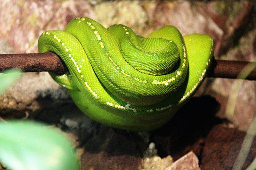 Snake, Animal, Reptile, Green, Terrarium, Viper