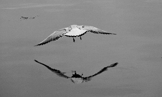 Flight, Water, Seagull, Bird, Nature, Lake, Sea