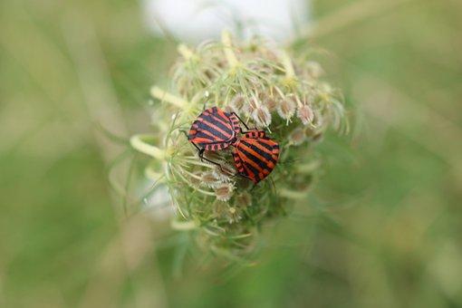 Shield Bugs, Graphosoma Lineatum, Pentatomidae
