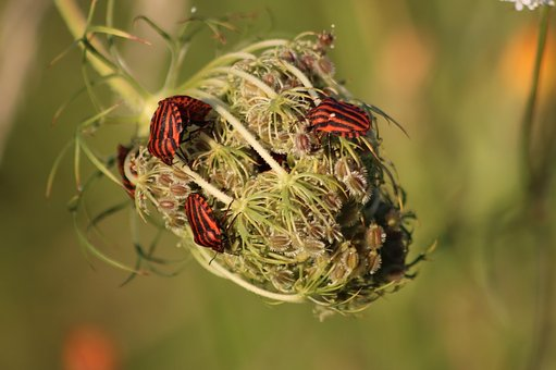 Shield Bugs, Pentatomoidea, Graphosoma Lineatum