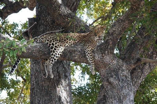 South Africa, Duluni, Leopard, Tree, Hunt, Animal