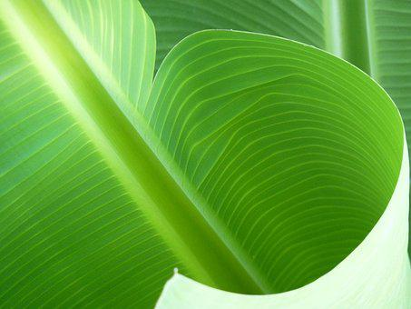 Banana, Leaf, Green, Exotic, Plants, Nature, Structure