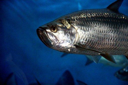 Fish, Animal, Underwater, Aquarium, Blue, Swim, Grey