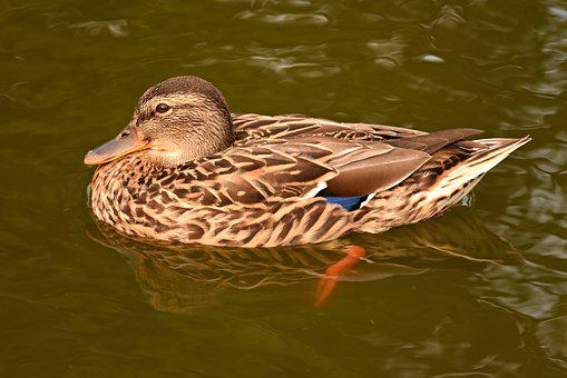 Duck, Water Bird, Swimming, Water, Pond, Plumage