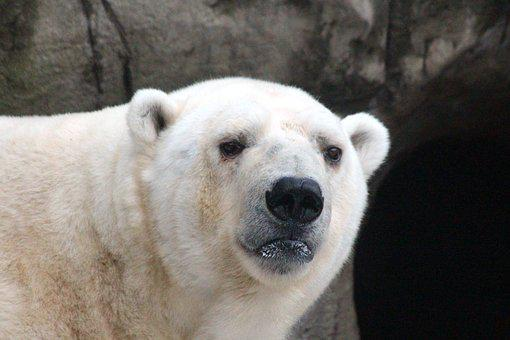 White Bear, Polar Bear, Ursus Maritimus, Portrait, View