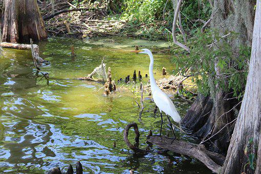 Egret, Circle Be Reserve, Lakeland, Florida, Water