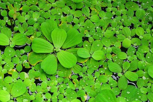 Brandy Bottle, Water Lotus, Aquatic Plants, Green