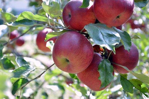 Apple, Fruits, Fruit, Pome Fruit, Kernobstgewaechs
