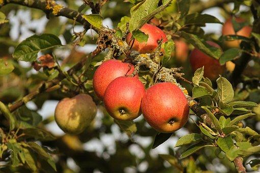 Apple, Fruit, Red, Ripe, Depend, Apple Tree, Fresh