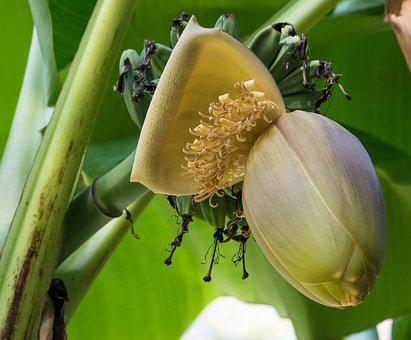 Banana Flower, Banana, Banana Shrub, Tropical