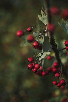 Red, Berries, Nature, Close Up