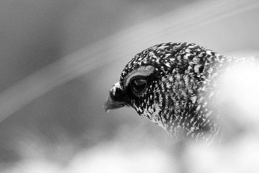 Lagopus Muta, Lagopis, Partridge, Bianca, Species, Bird